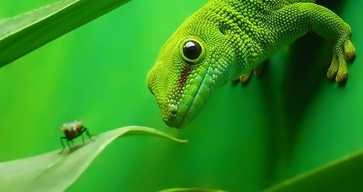 Green gecko lizard - Madagascar