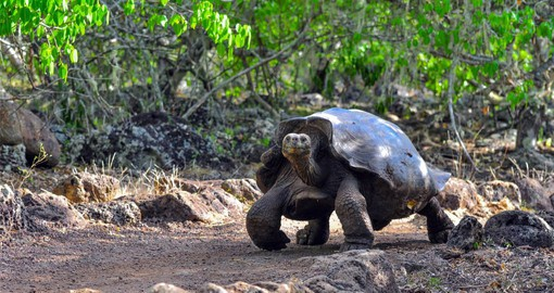 The Galapagos Tortoise is  the world's largest tortoise and the longest living of all vertebrates
