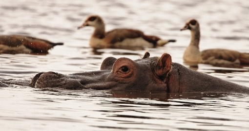 Watch Hippopotamus in Lake Manyara National Park on your next Tanzania safari.