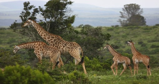 See Giraffes and other wildlife during your South Africa trip.