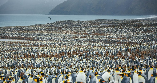 Peguin colony on South Georgia Island