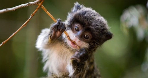 Baby Emperor Tamarin – are a popular photo opportunity while on Brazil vacations