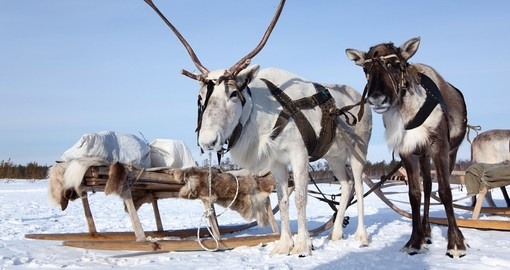Reindeer are in harness during of winter day
