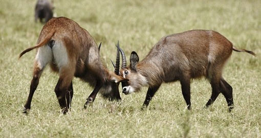 Waterbuck fighting