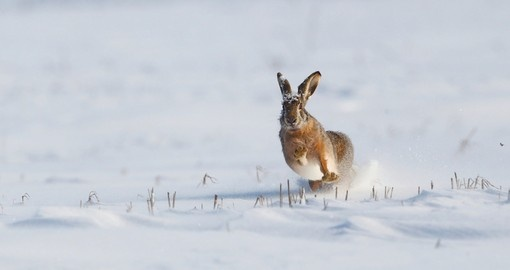 Black-tailed jackrabbit playing in the snow