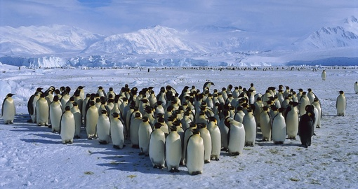 Penguins queuing for an Antarctica Special