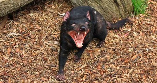 Tasmanian devil close up