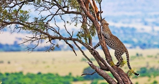 A leopard with a kill will be a highlight of your Maasai Mara safari.