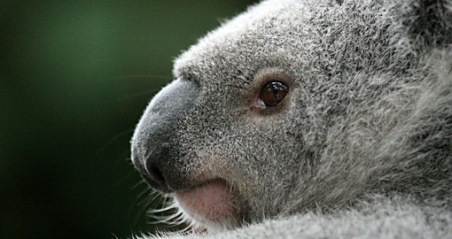 Meet the Koalas on your Australian tour.