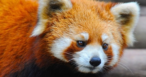 Closeup of a red panda