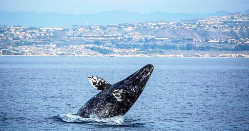 Gray whales make one of the longest migrations of any mammal on earth
