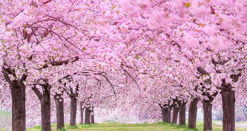 Enjoy cherry blossoms on your Japan vacation