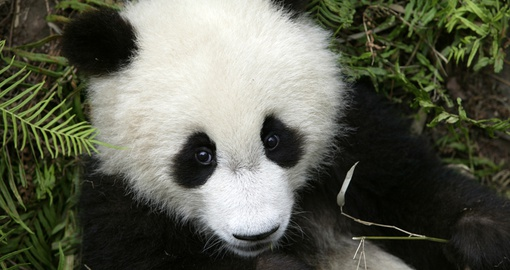 Visit with pandas in Chengdu on your trip to China
