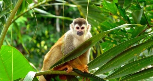 See Squirrel Monkeys and other wildlife on you Costa Rica Vacation