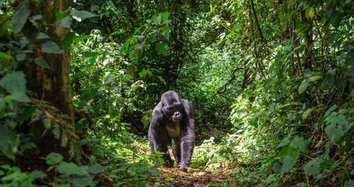 The Bwindi Impenetrable Forest is home to more than half the world's population of Mountain Gorillas