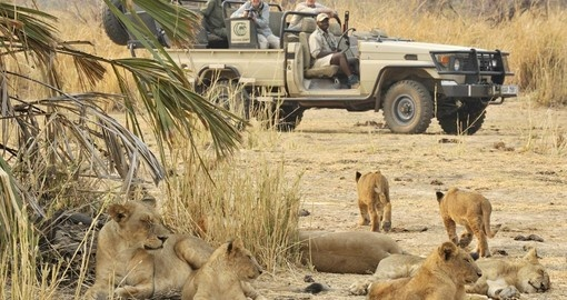 Experience a game drive with lion pride on your next Zambia safari.