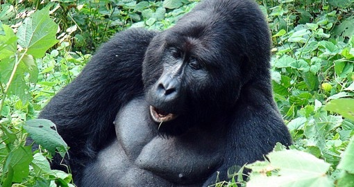 Experience one day from Silverback Mountain Gorilla life during your next Rwanda safari.