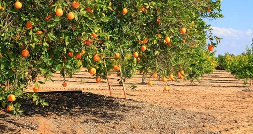 Ripe orange tree on citron plantation