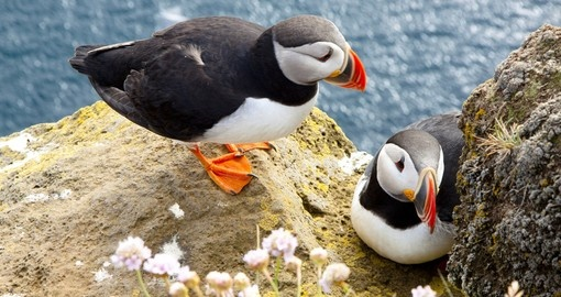 Colorful Puffins on the Rock