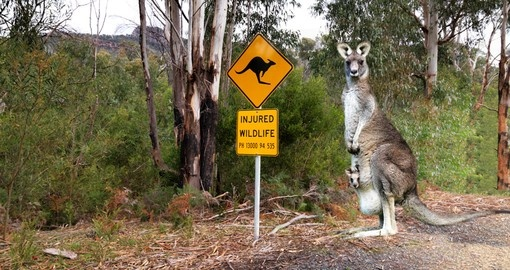 Injured wildlife sign and kangaroo