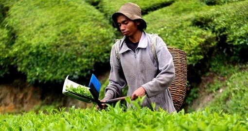 Harvesting tea leaves
