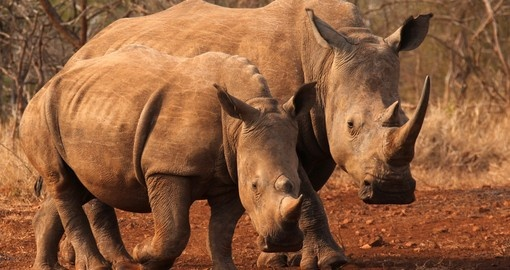Watch KwaZulu Natal Rhino living their life on your next South Africa safari.