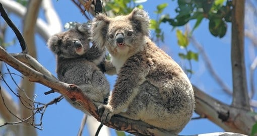 Wild Koalas along Great Ocean Road are a great photo opportunity on your Australia vacation.