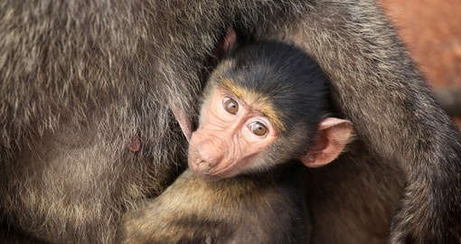 Baby baboon poses for the camera