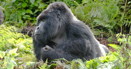 Gorillas are social animals that live together in troops ranging in size from five to 30 individuals