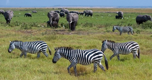 Elephants and Zebras galore, Amboseli National Park