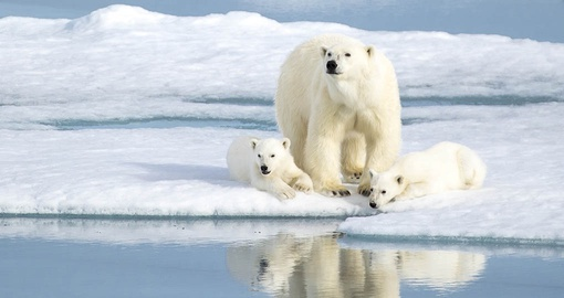 See polar bears and other unique wildlife on your Arctic tour