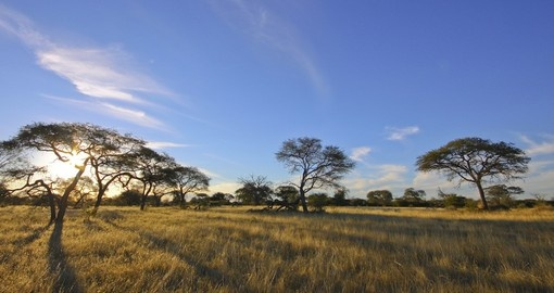Acacia trees set against blue sky
