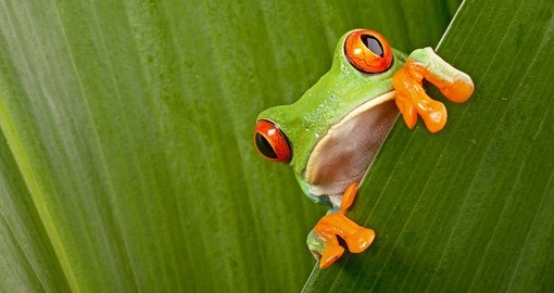 Red eyed tree frog peeping curiously