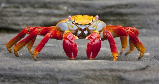 The colourful Sally Lightfood crab seen on the Galapagos Islands– are a popular photo opportunity on Ecuador tours