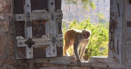 Monkey's are common in India