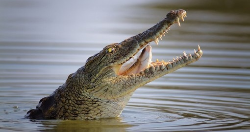 A Nile crocodile is a common site on Kruger National Park safaris.
