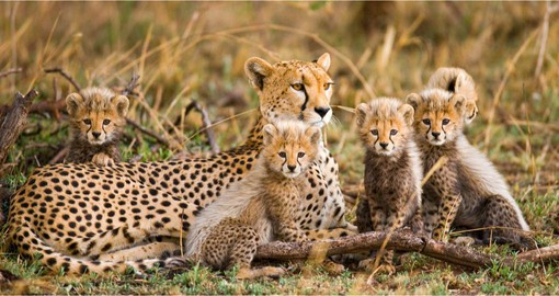 The vast plains of the Serengeti ecosystem are ideal habitat for Cheetah