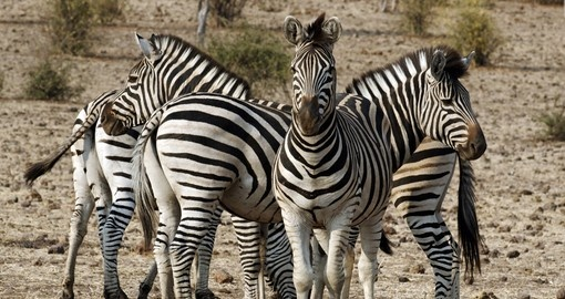 You will see lots of Zebras on your Chobe National Park safari.