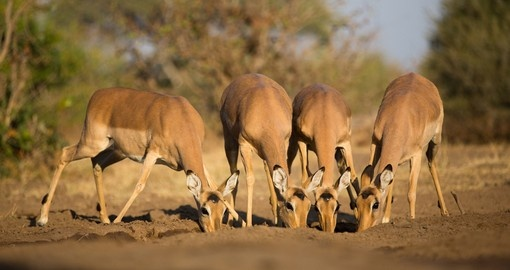 A small herd of female impalas