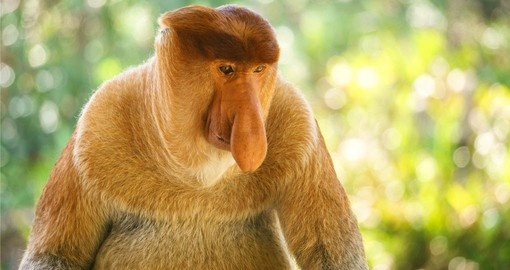 The Proboscis monkey is a highlight of your Borneo Eco Tours.