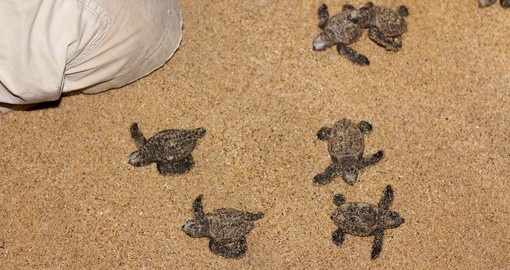 You might be able to watch baby turtles go to the sea on your next trip to South Africa.