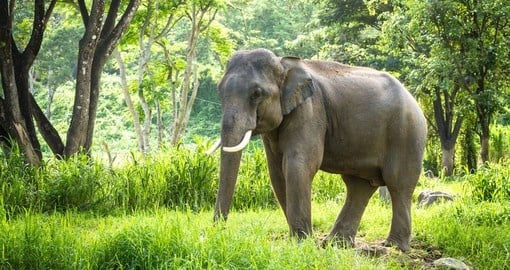 A mature male bull elephant in the jungle near Chiang Mai