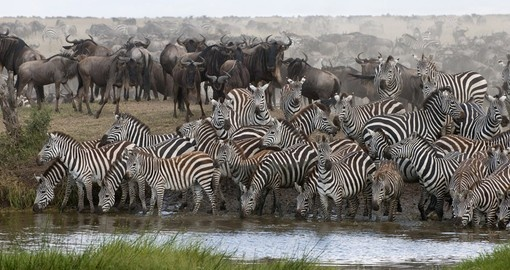 Zebras drinking in at a water hole in Serengeti National Park