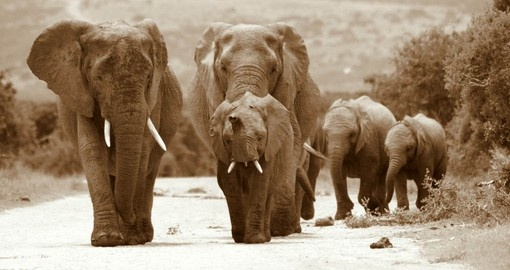 Elephants going for a stroll in Addo Elephant National Park