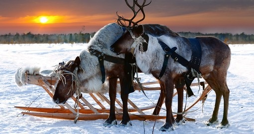 Beautiful Reindeers