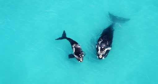 Grootbos mother and calf whales seen from above