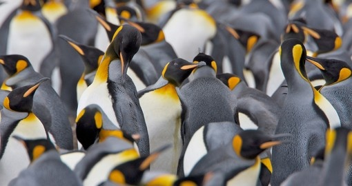 Colony of King Penguins, Falkland Islands