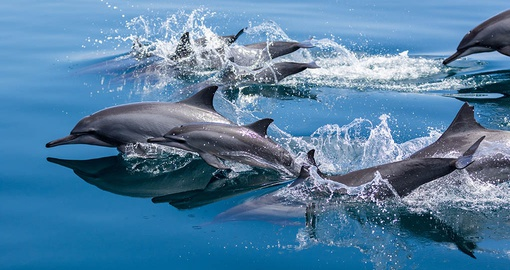 Dolphins are common in Raja Ampat