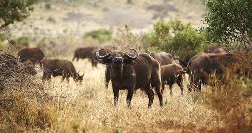 Buffalo in Amboseli Park - A great photo opportunity on your Kenya vacation