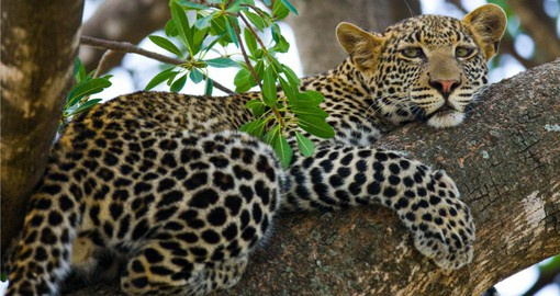 The Serengeti National Park is blessed with a healthy population of leopards